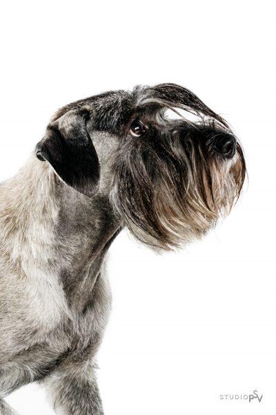 Tassutammikuussa kuvaamme Studio P.S.V:ssä kaikenkarvaiset koirat erikoishintaan. Valokuvaaja Noora Slotte, Studio P.S.V.